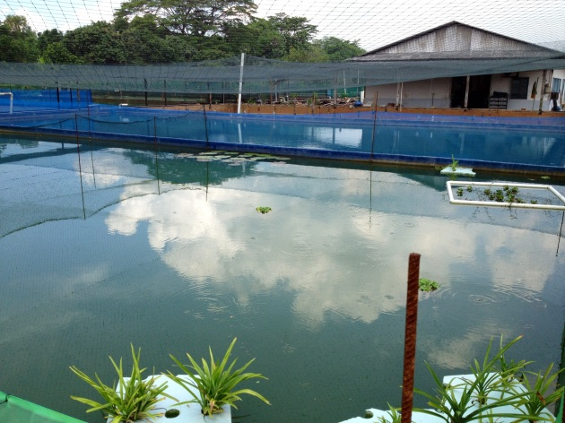 Marugen Arowana Breeding Mud Ponds