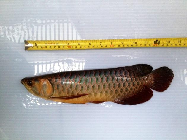 Aqua Gold Crossback Golden Arowana For Sale Undergoing measurement Product of Marugen Arowana Breeding Farm