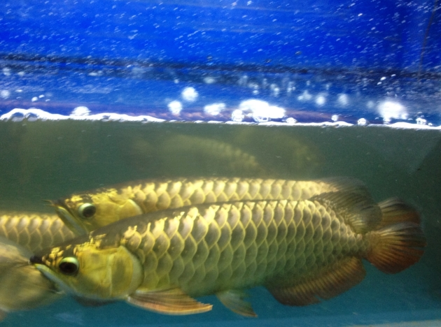 Aqua Gold Crossback Golden Arowana Product of Marugen Arowana Breeding Farm